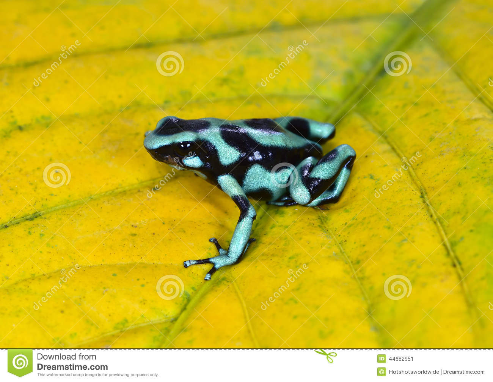 Grenouille Costa Rica grenouille verte et noire de dard de poison, costa rica image stock