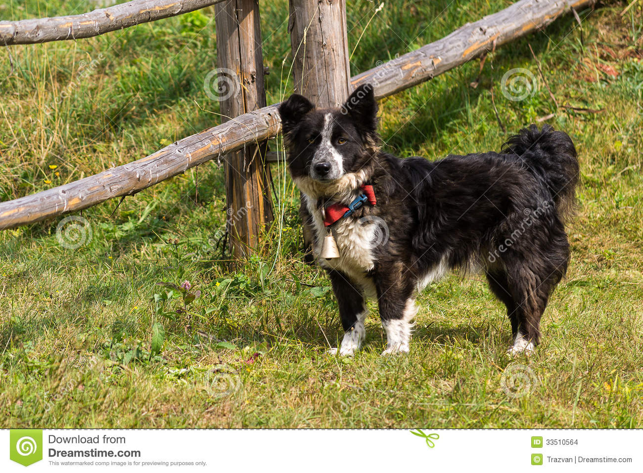 Grenze Collie Breed