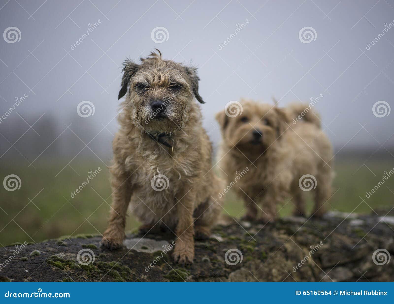 Grenze und Norfolk Terrier auf Wand