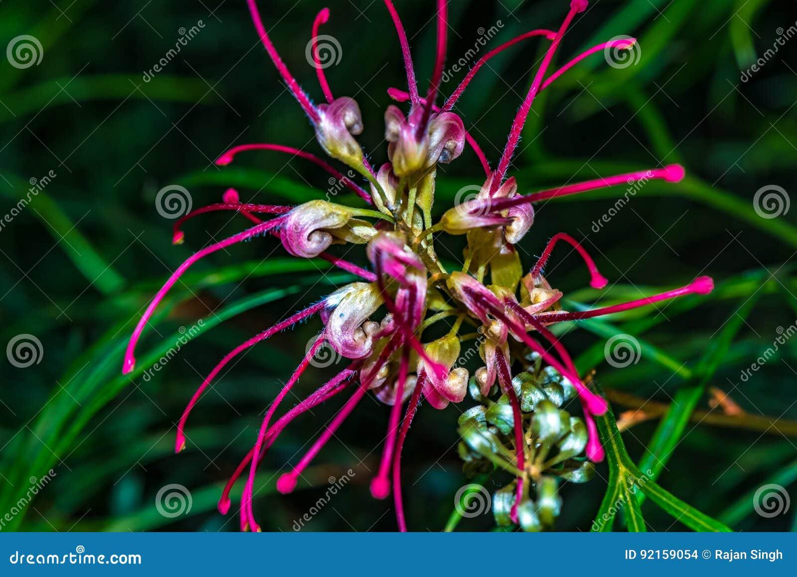 Grevillea Firesprite Dekoracyjny kwiat