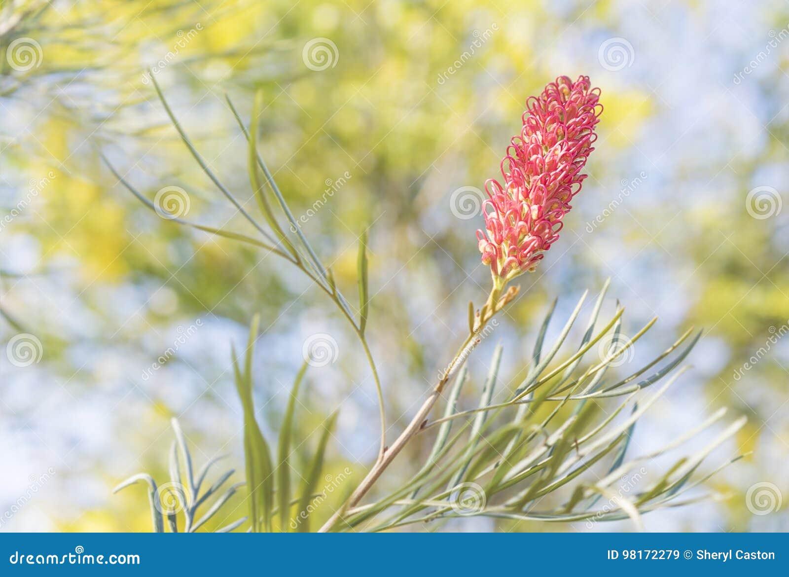 Grevillea With Pink Spider Flower Stock Image Image Of Botanic