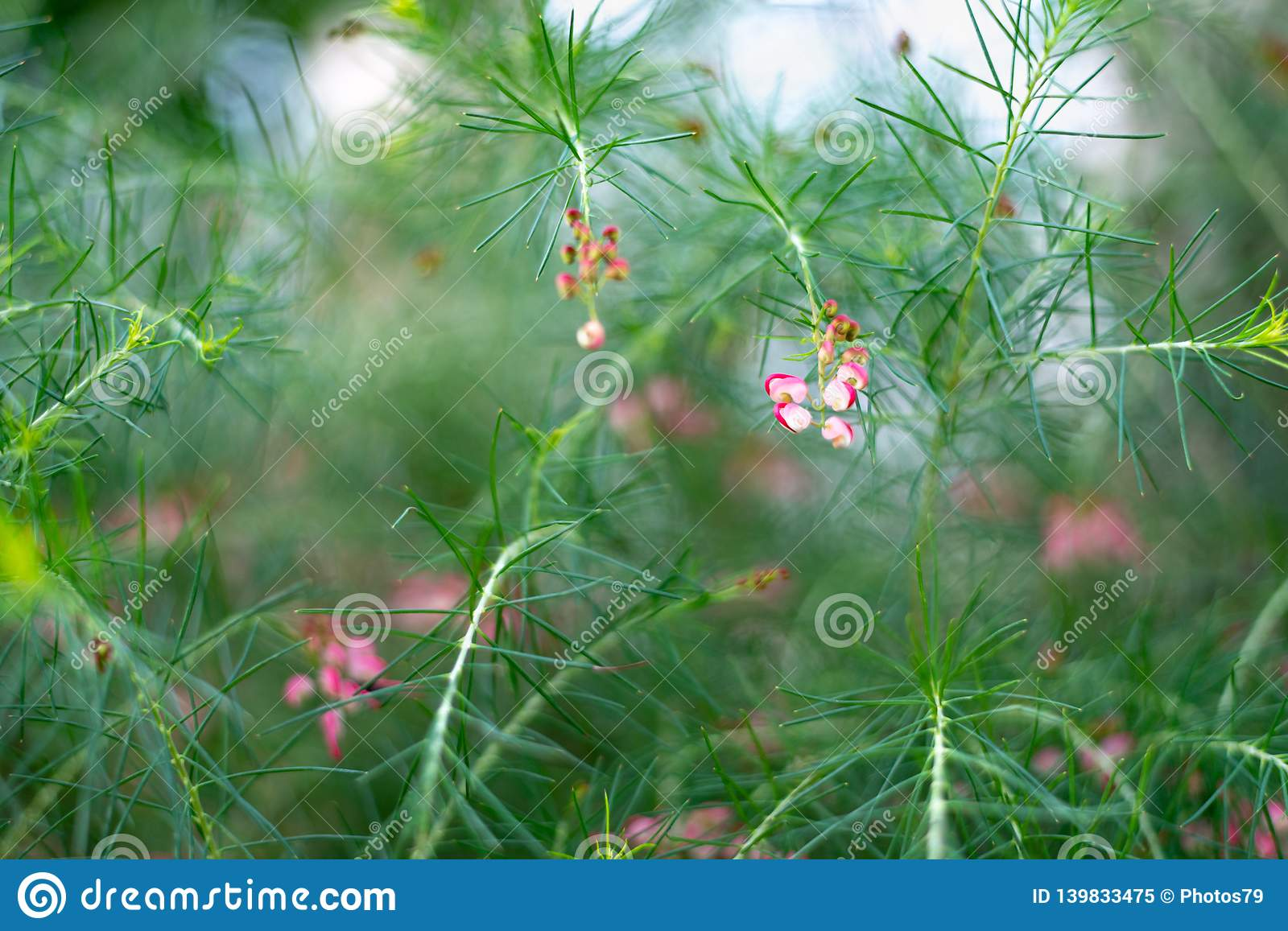 Grevillea rosmarinifolia branch with red flowers