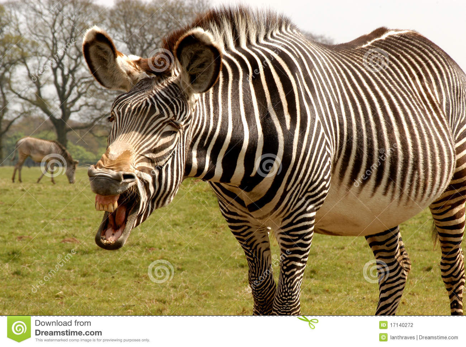 grevy 39 s zebra equus grevyi comic photo stock. Black Bedroom Furniture Sets. Home Design Ideas