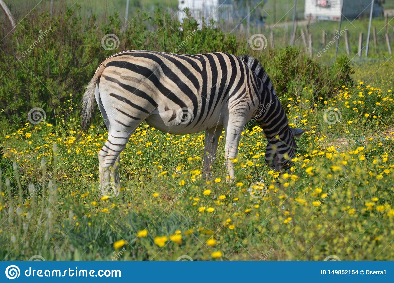 Grevy`s zebra Equus grevyi