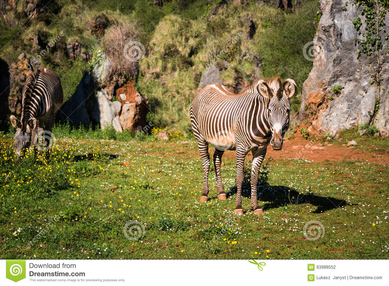 The Grevy s zebra (Equus grevyi), sometimes known as the imperial zebra, is the largest species of zebra. It is found in