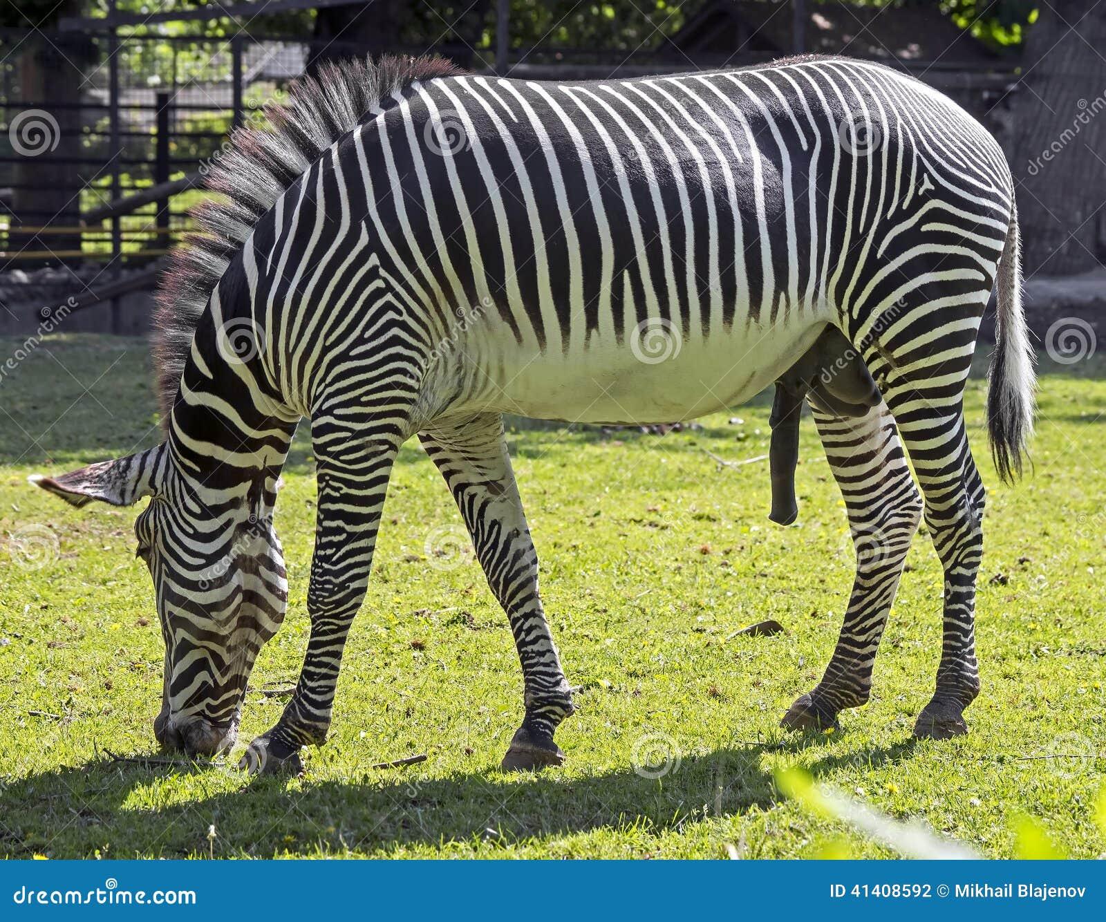 Zebra Scientific Name Grevy`s zebra 7 stock ...