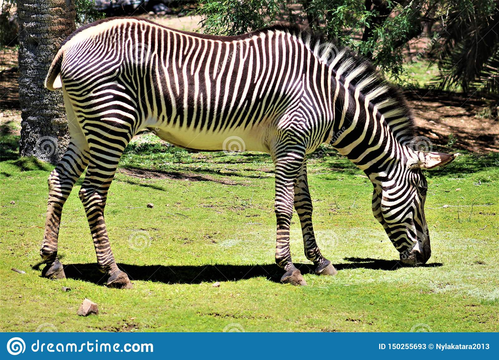 Zebra, Phoenix Zoo, Arizona Center for Nature Conservation, Phoenix, Arizona, United States