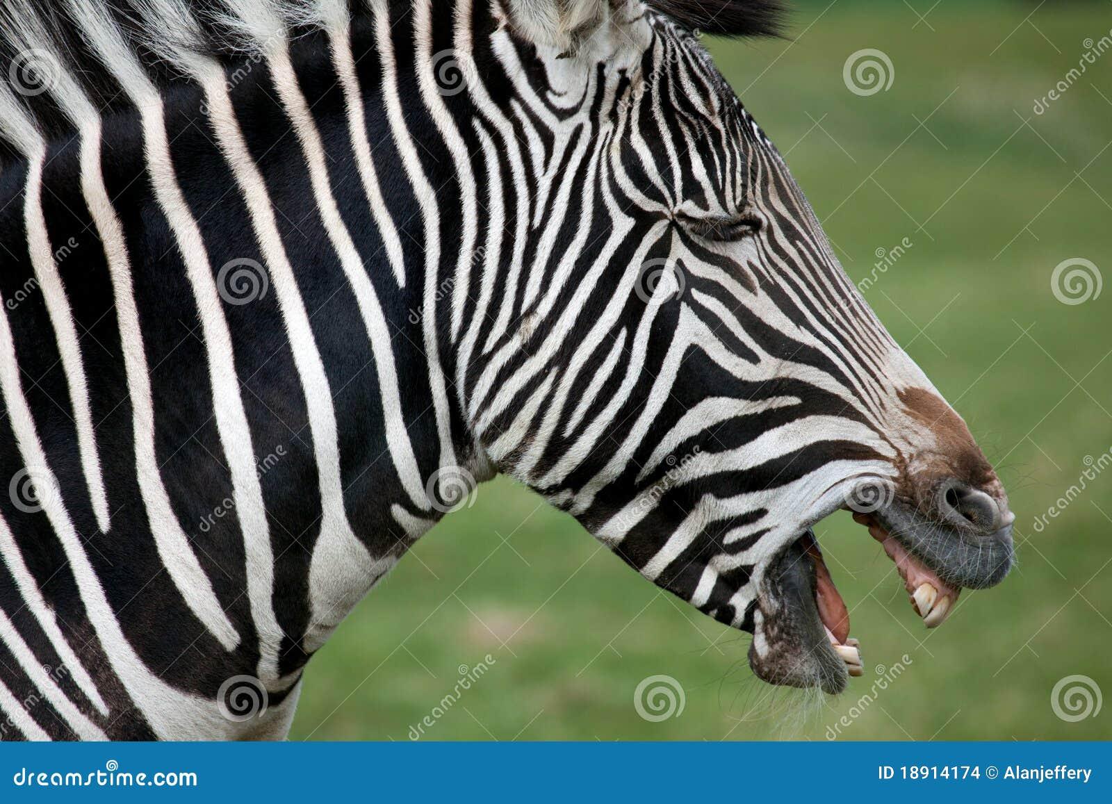 Zebra Profile Drawing ...
