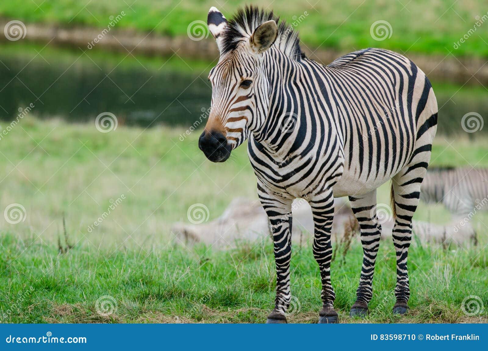 A Grevy`s Zebra