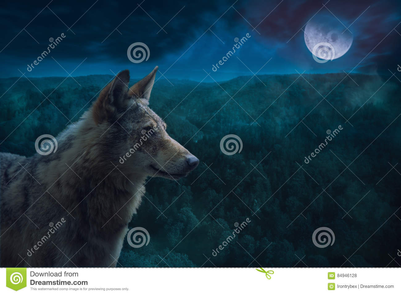 Grey Alpha Wolf During Full Moon Night dans la région sauvage