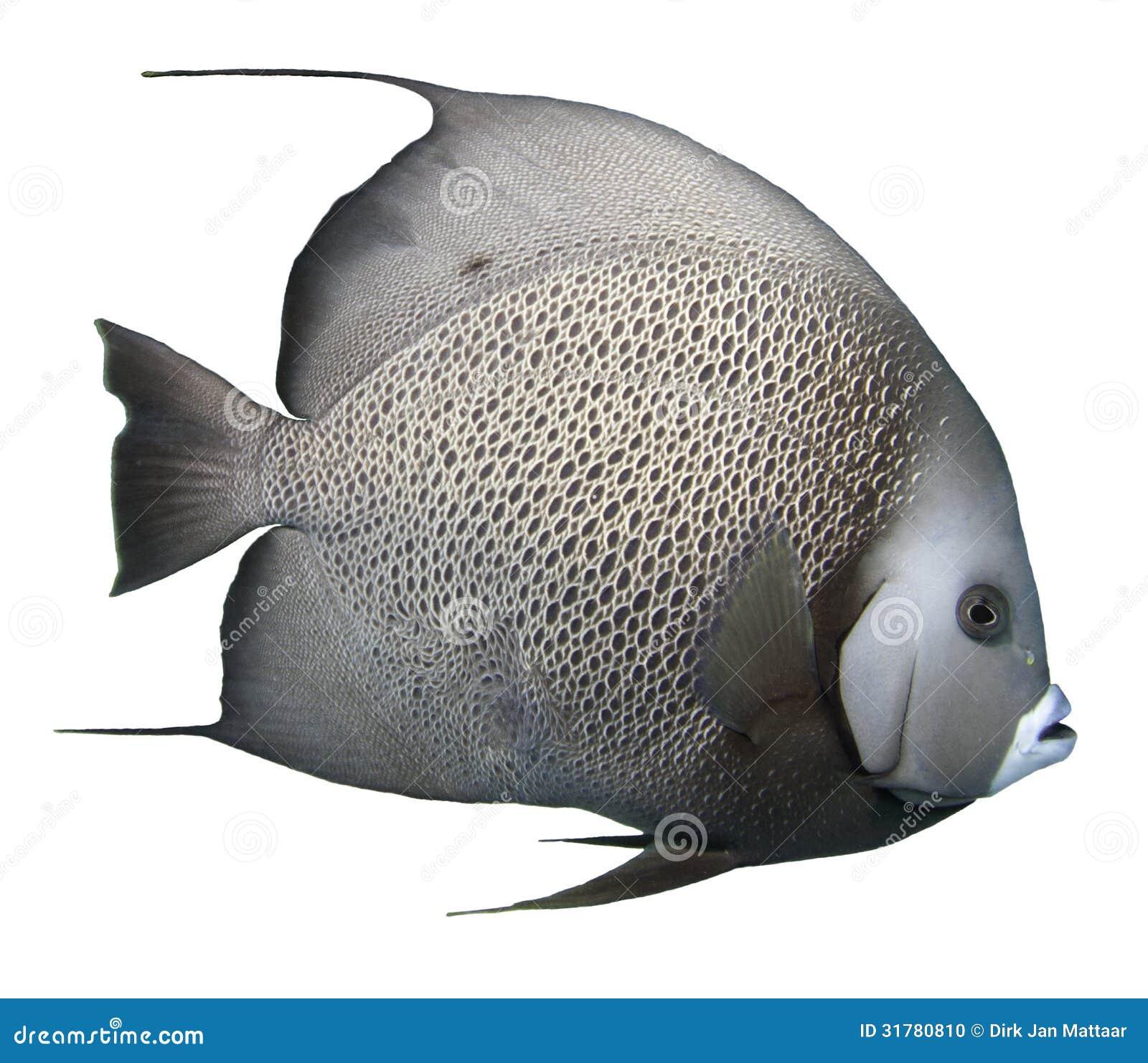 Grey Angelfish - Isolated