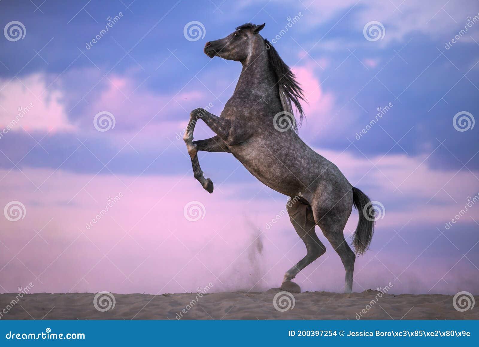 Grey Arabian Horse Rearing On Cloudy Background Stock Photo Image Of Desert Arabian 200397254