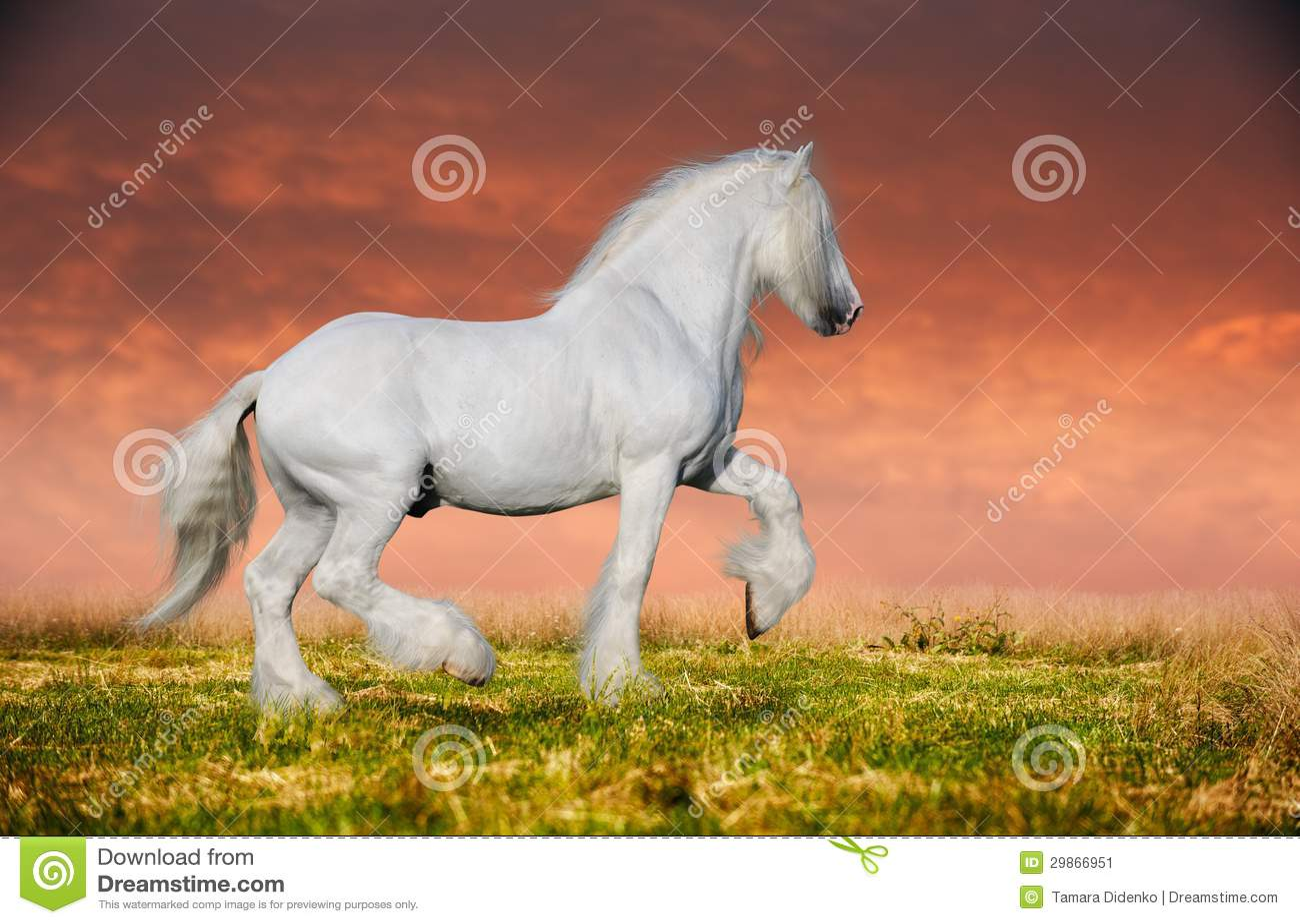 A Grey Arabian Horse Rearing Stock Image Image Of Blue Elegant 29866951