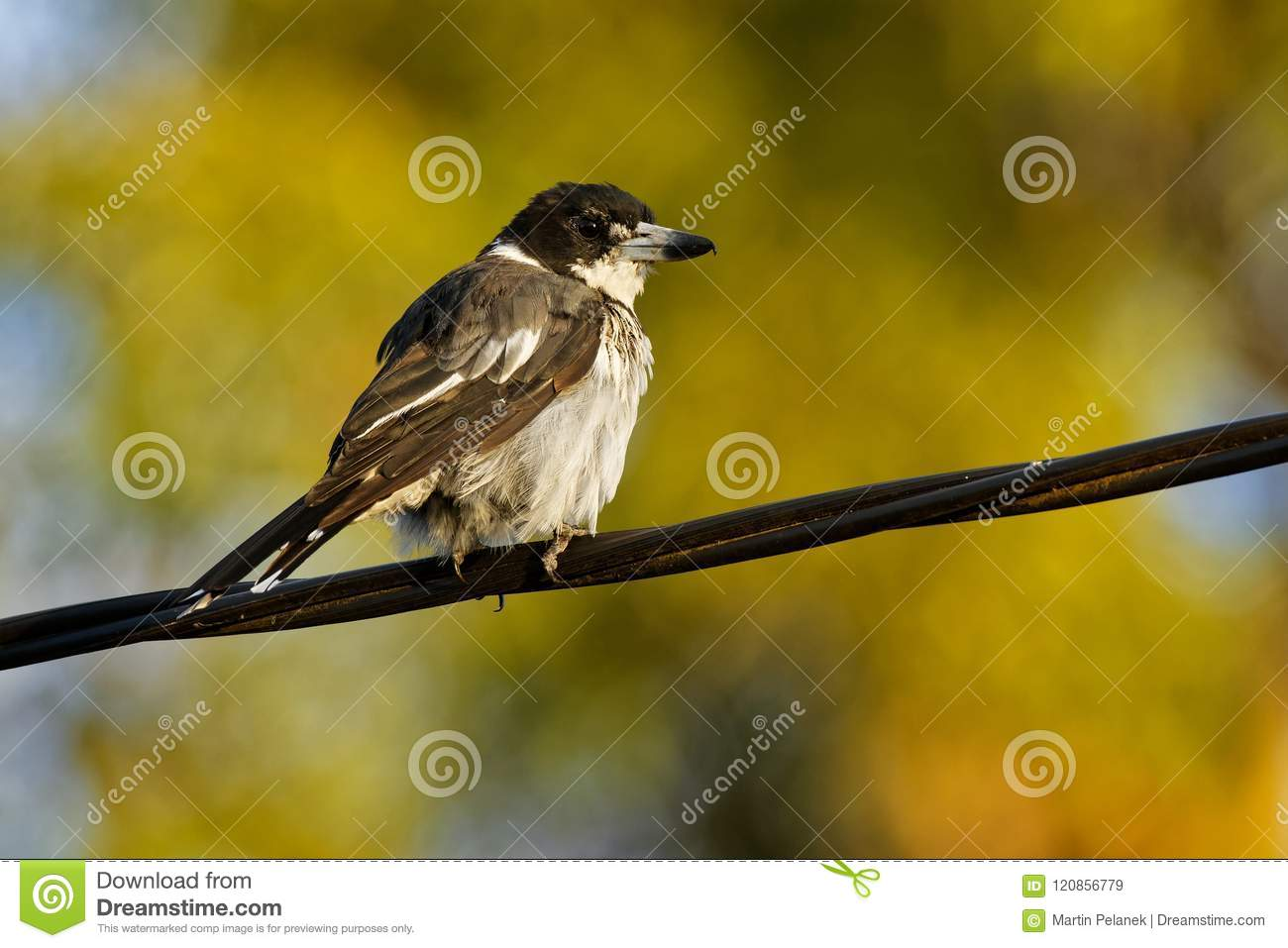 Grey butcherbird - Cracticus torquatus is a widely distributed species endemic to Australia, occurs in a range of different habit