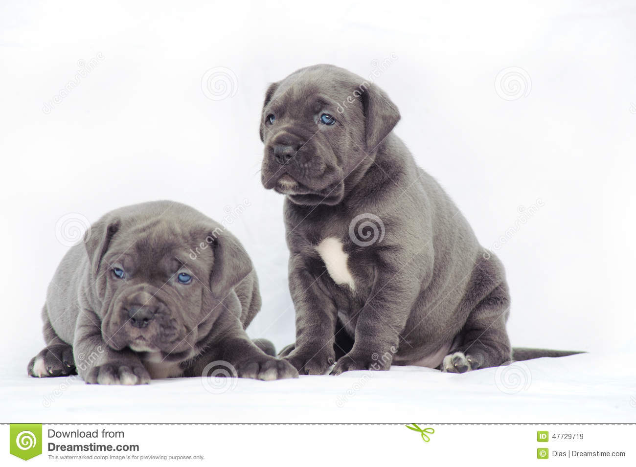 Grey cane corso puppies stock image. Image of young, breed ...  Grey