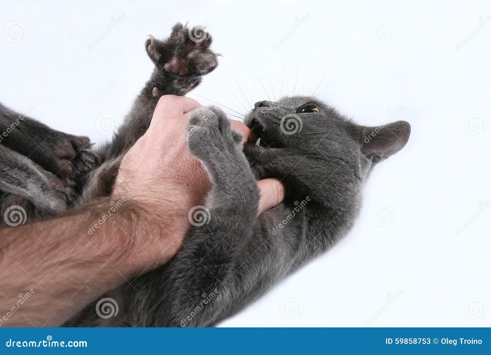 Grey cat aggressive bites the hand