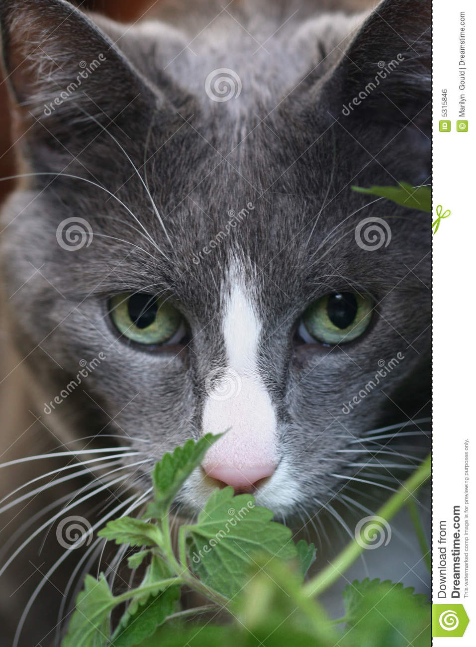 Grey Cat With Green Eyes Royalty Free Stock Image Image