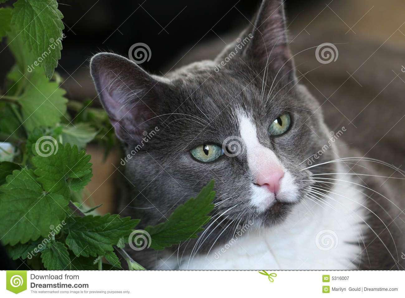 Grey cat green eyes stock image Image of plant catnip