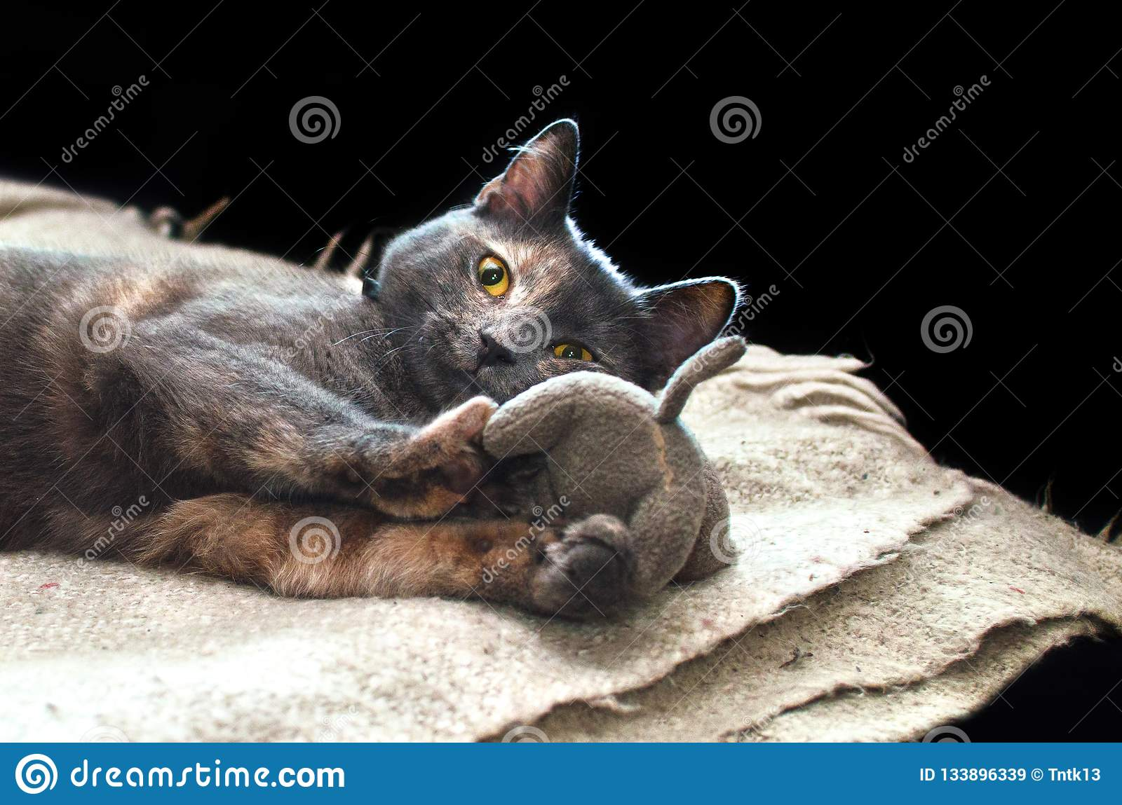 Grey cat lies on a wool scarf and plays with gray plush kitten.