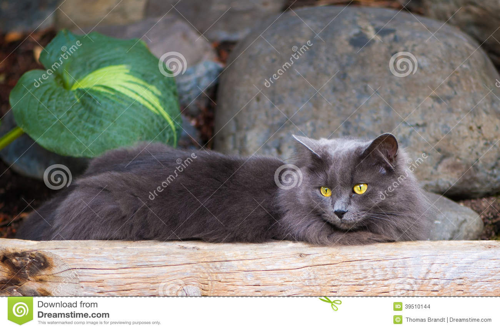 Grey Cat Lounging