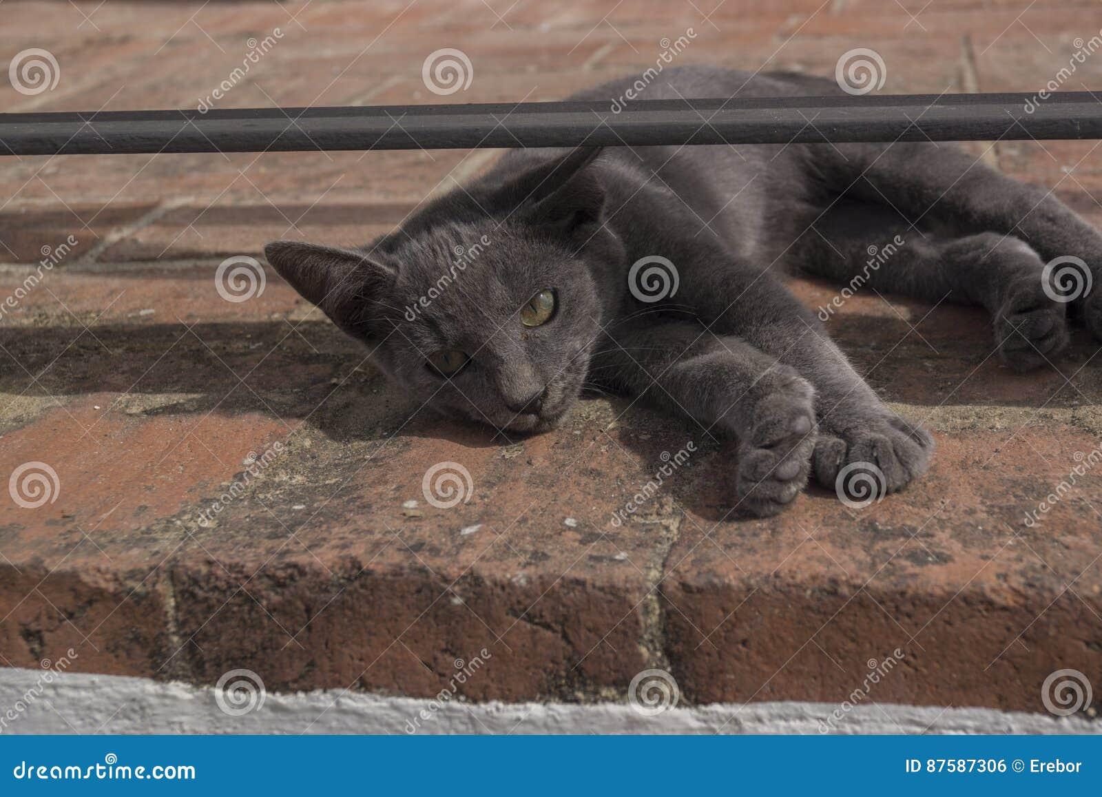 Grey cat lying on street looking into camera