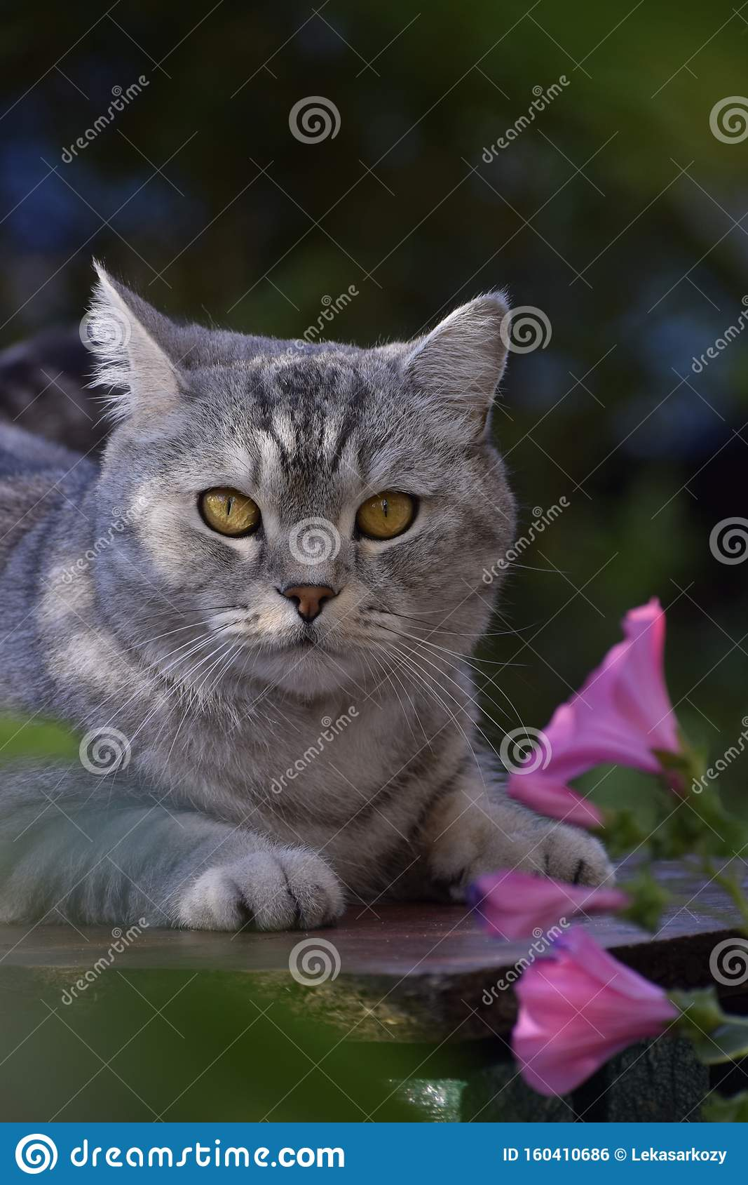 Grey Cat Pink Flowers Cute Beautiful Eyes Kitty Stock Photo Image Of Splash Beautiful 160410686