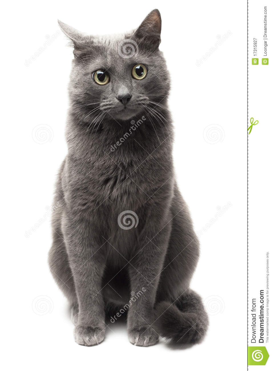 Grey Cat Sitting Over White Background Royalty Free Stock