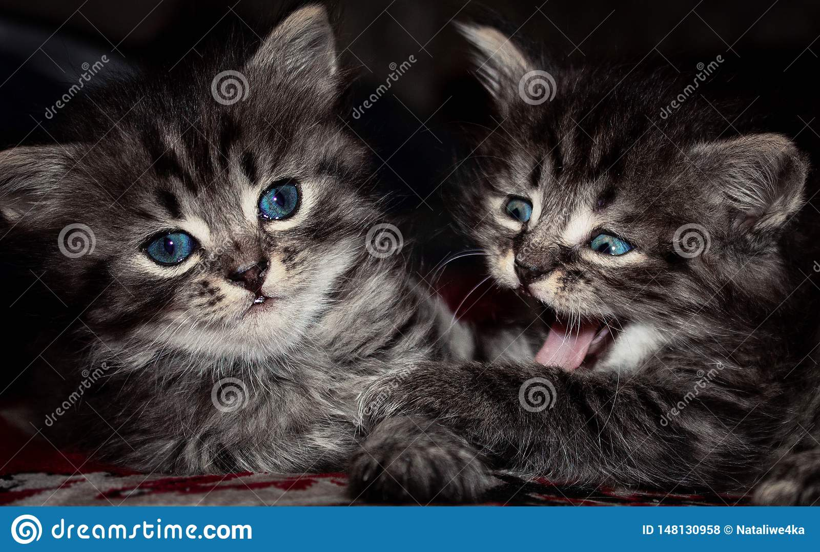 Grey cats with blue eyes stock photo. Image of house , 148130958