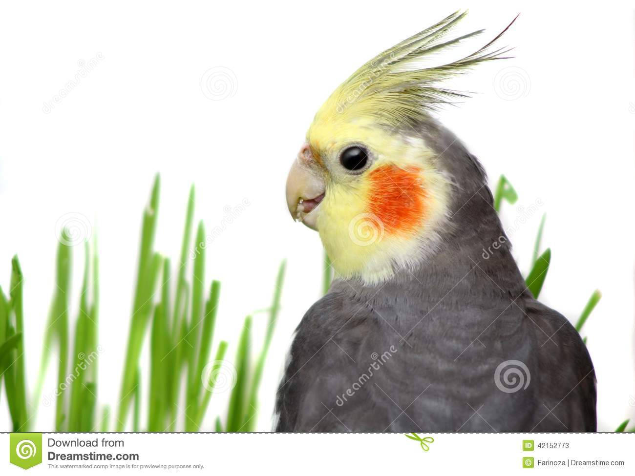 Grey Cockatiel Isolated With Green Grass Stock Image ...