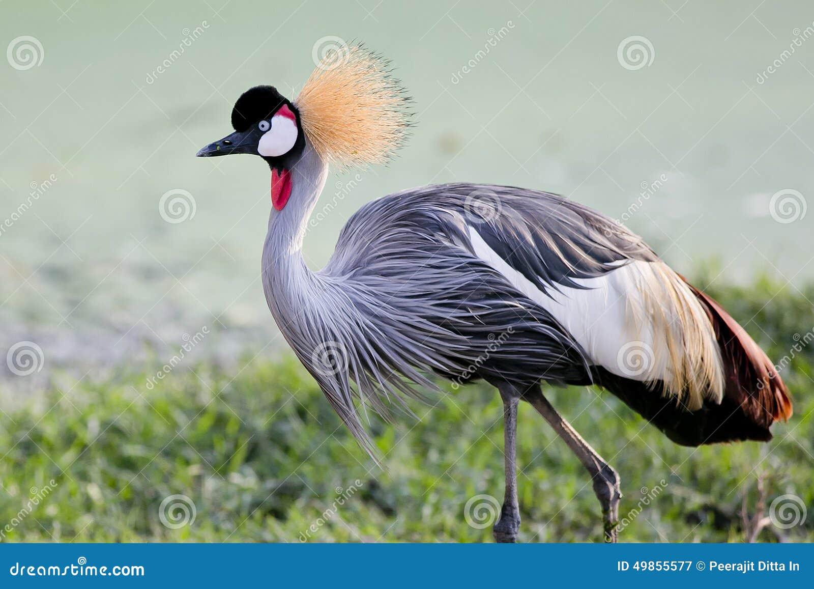 Grey Crowned Crane bird in rainforest