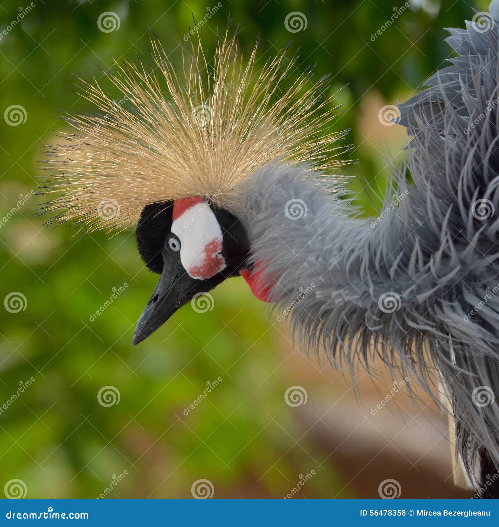 Grey Crowned Crane (regulorum de Balearica)