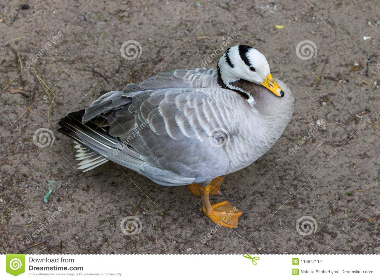 Grey duck with white head and black stripes top view. Goose on farm. Waterfowl isolated.