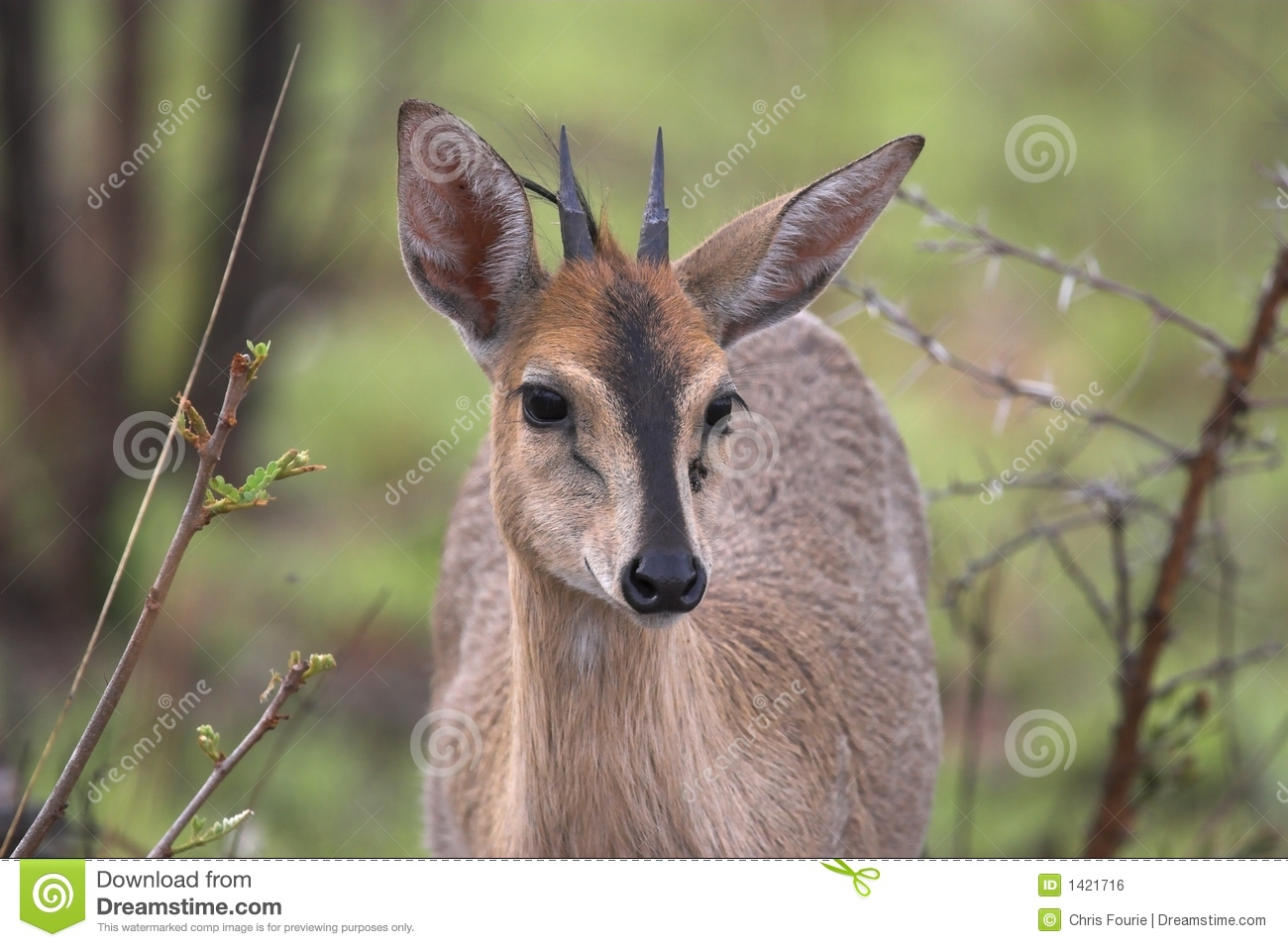 grey duiker stock photo image of flaura national addo