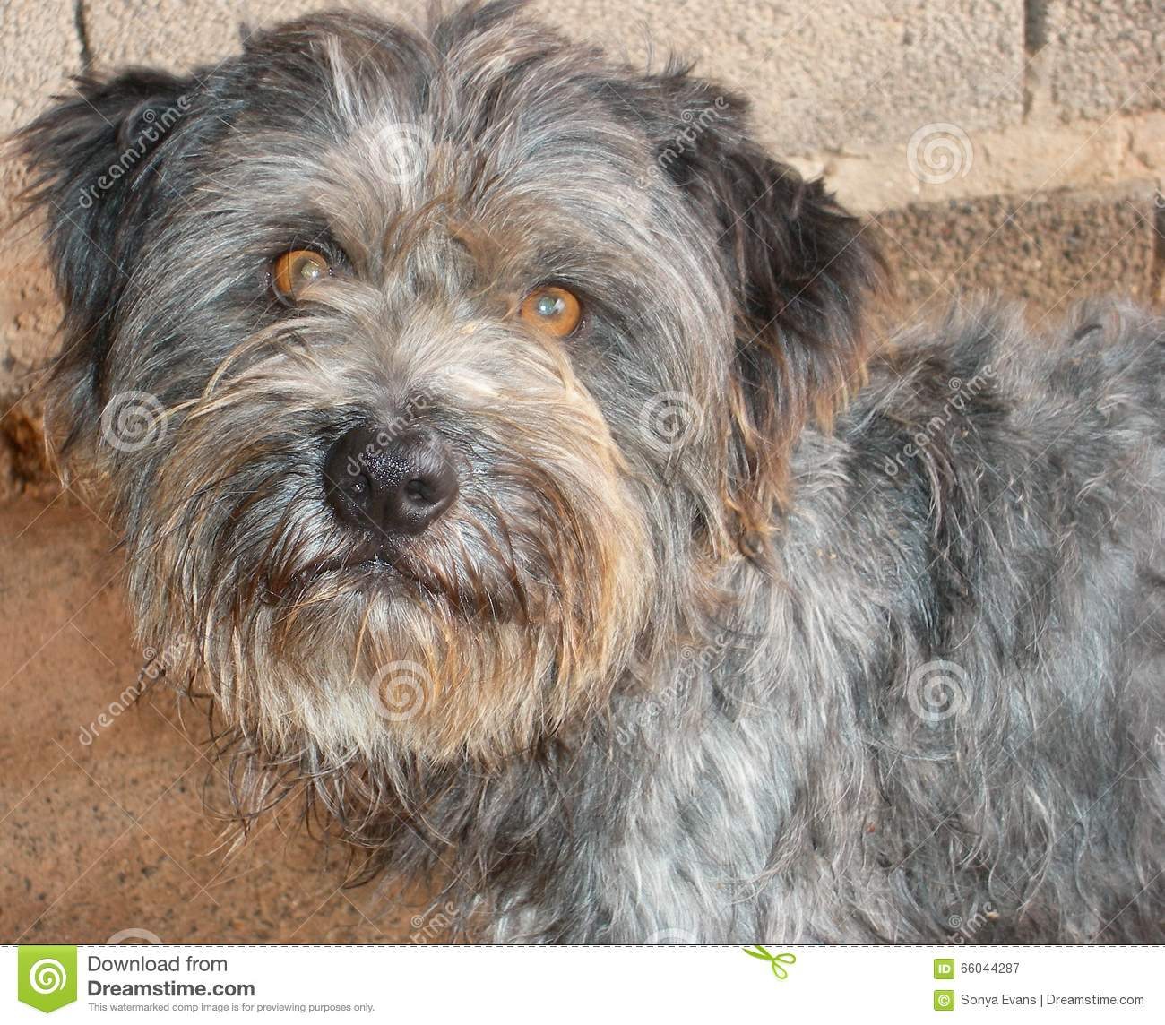 Wire Haired Terrier : Grey face wire haired terrier dog stock photo image