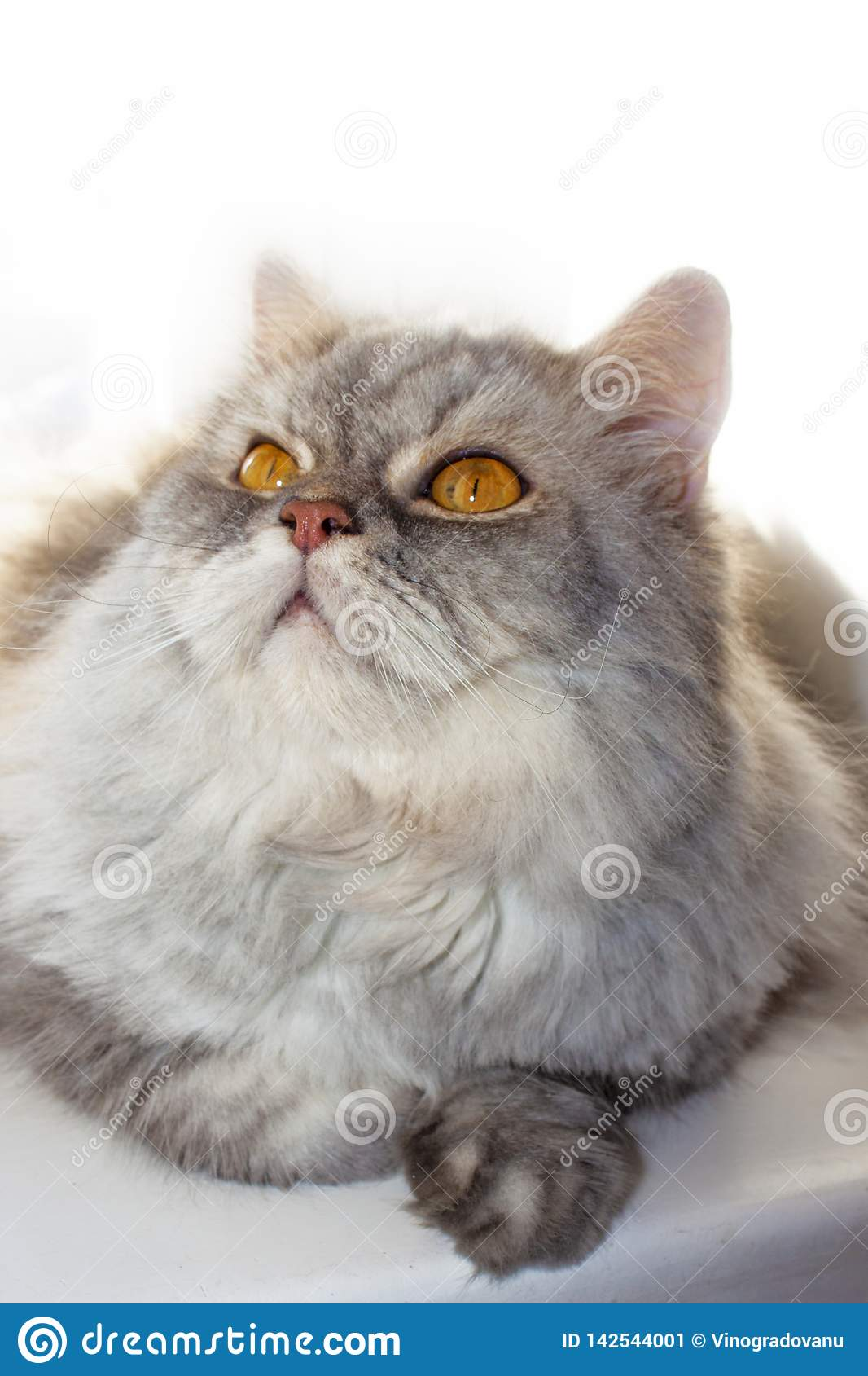 Grey fluffy cat on the window looks up. Pensive cat