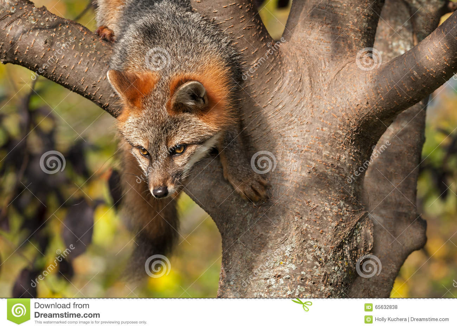 Grey Fox (cinereoargenteus d Urocyon) s élève vers le bas de l arbre