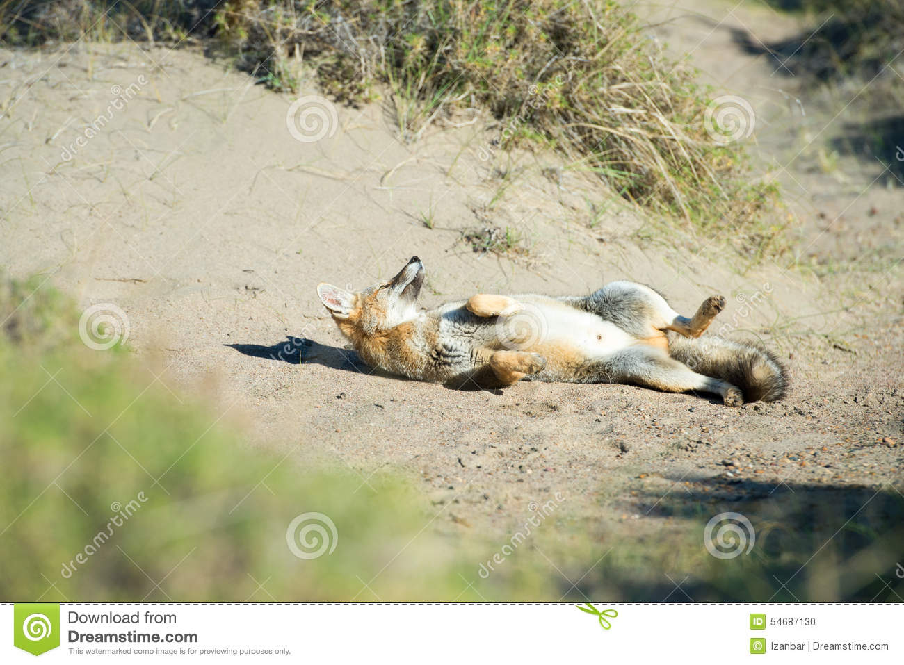 Grey fox hunting on the grass