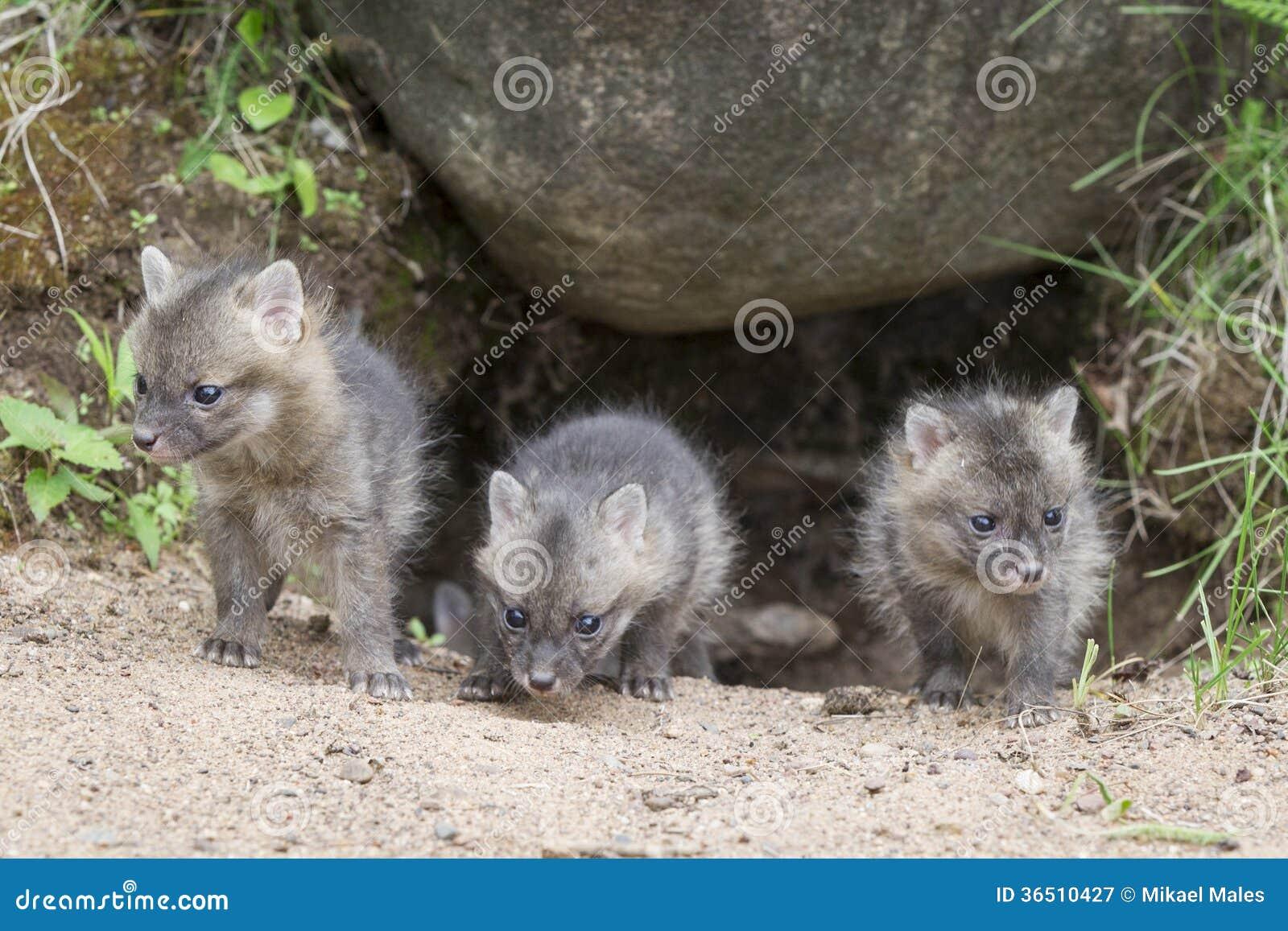Grey Fox Kits