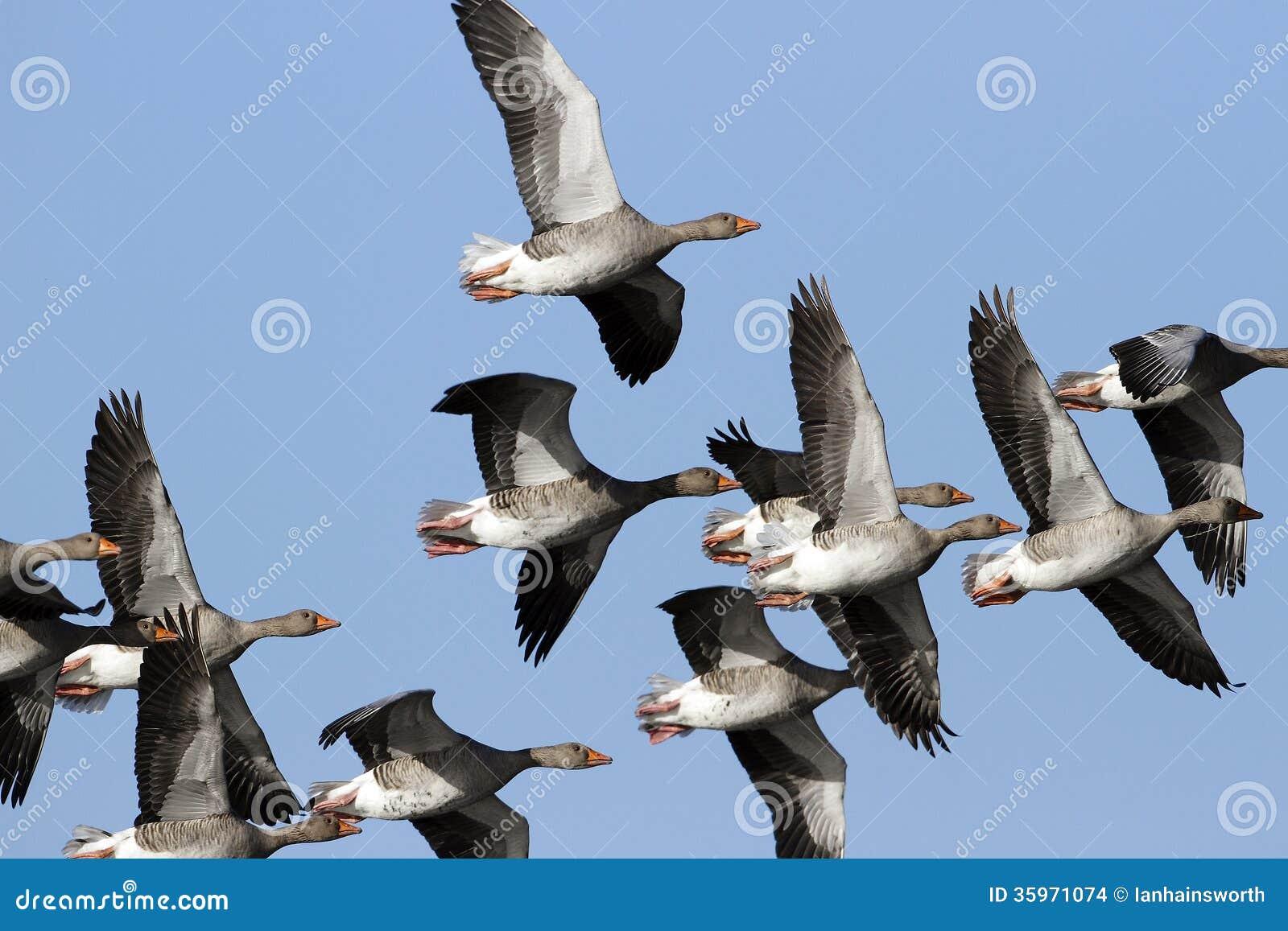 Grey Geese (anser del Anser) en vuelo.