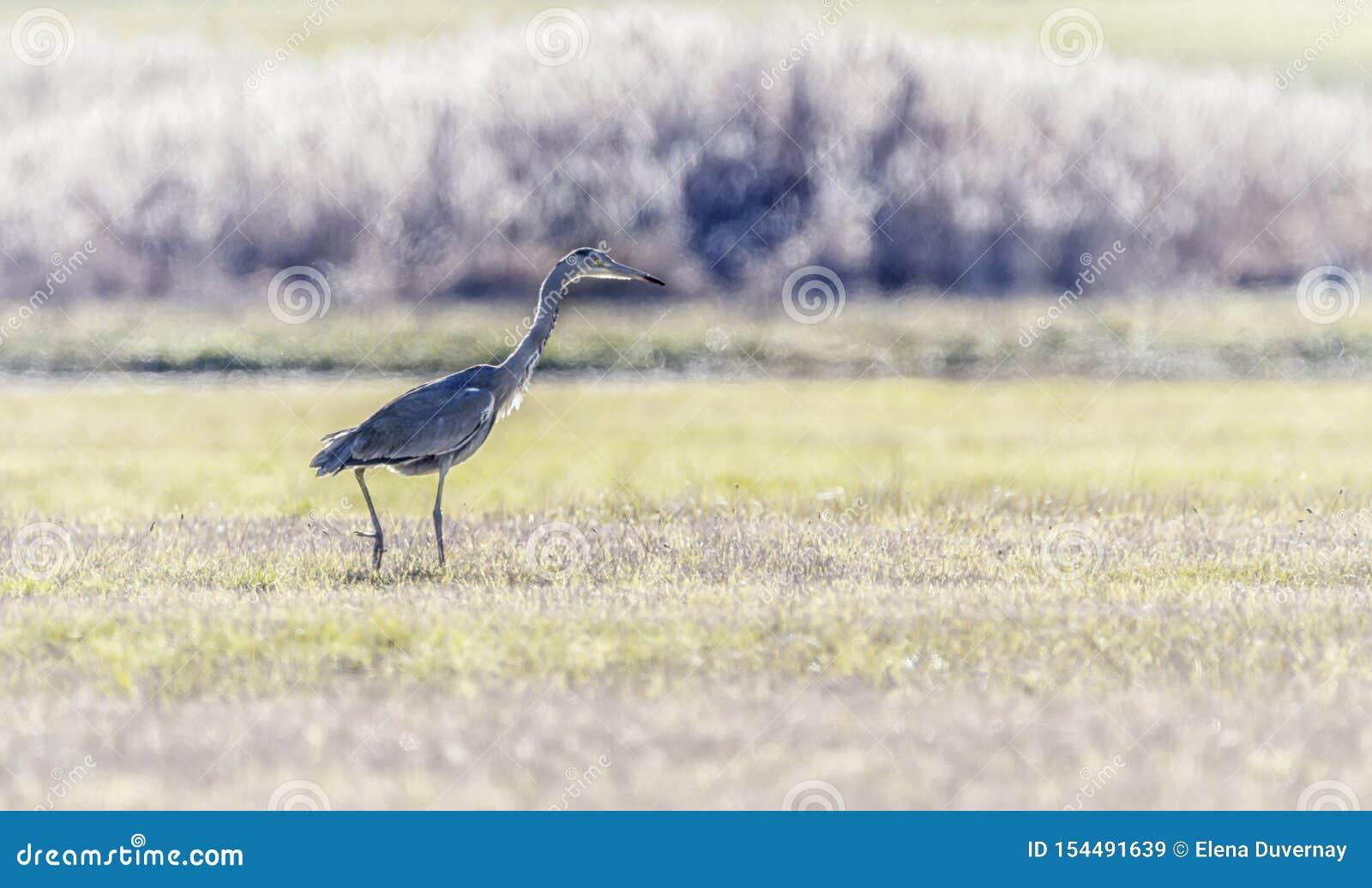Grey heron, Ardea cinerea, walking in a meadow, Geneva, Switzerland