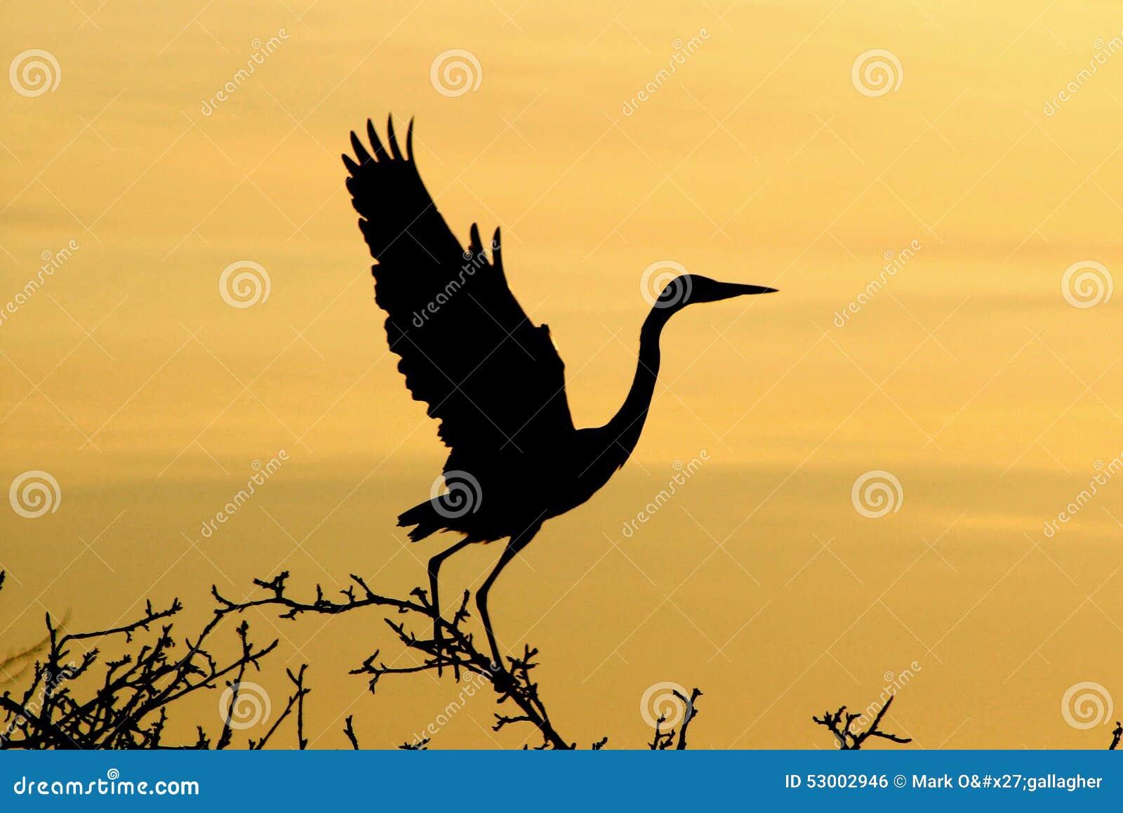 Grey Heron at dawn