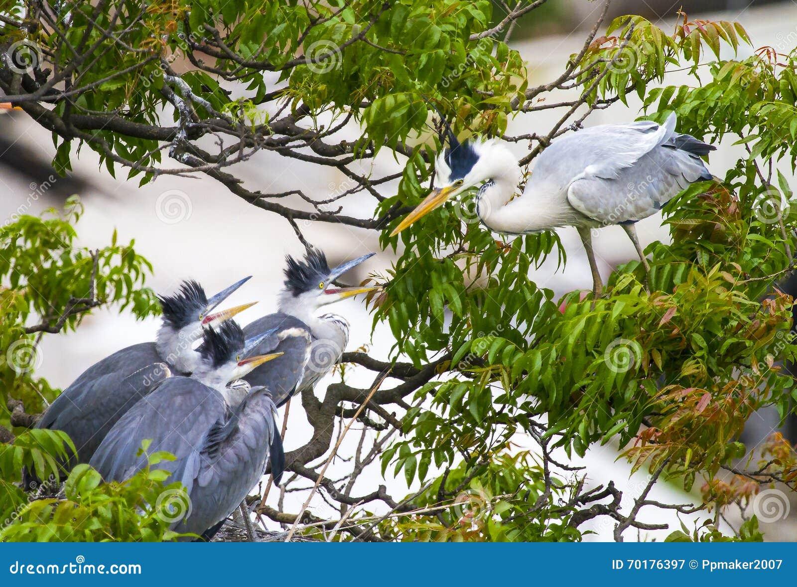 Grey Heron & det är tre behandla som ett barn