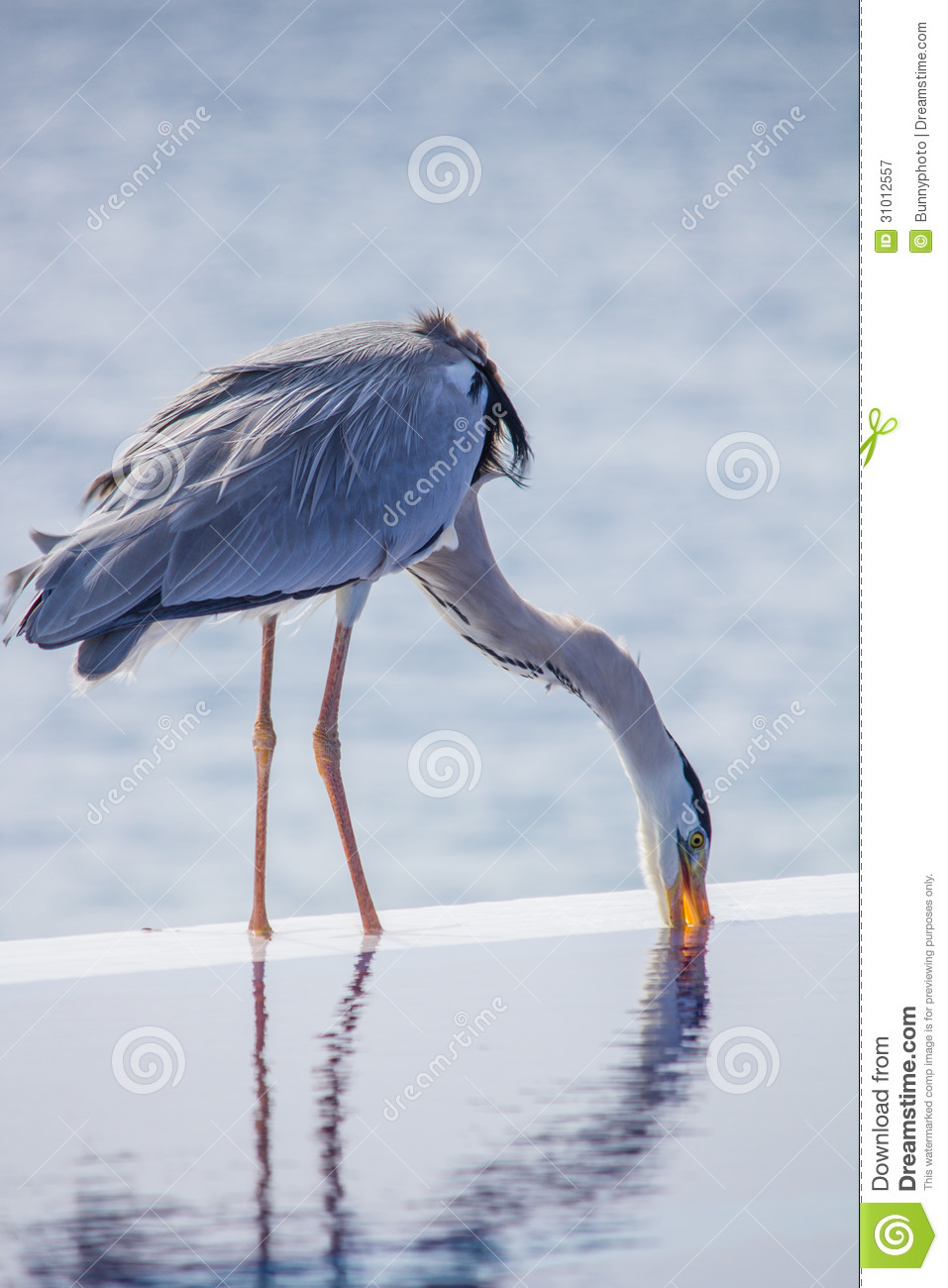 Grey heron royalty free stock photography image 31012557 How to make swimming pool water drinkable