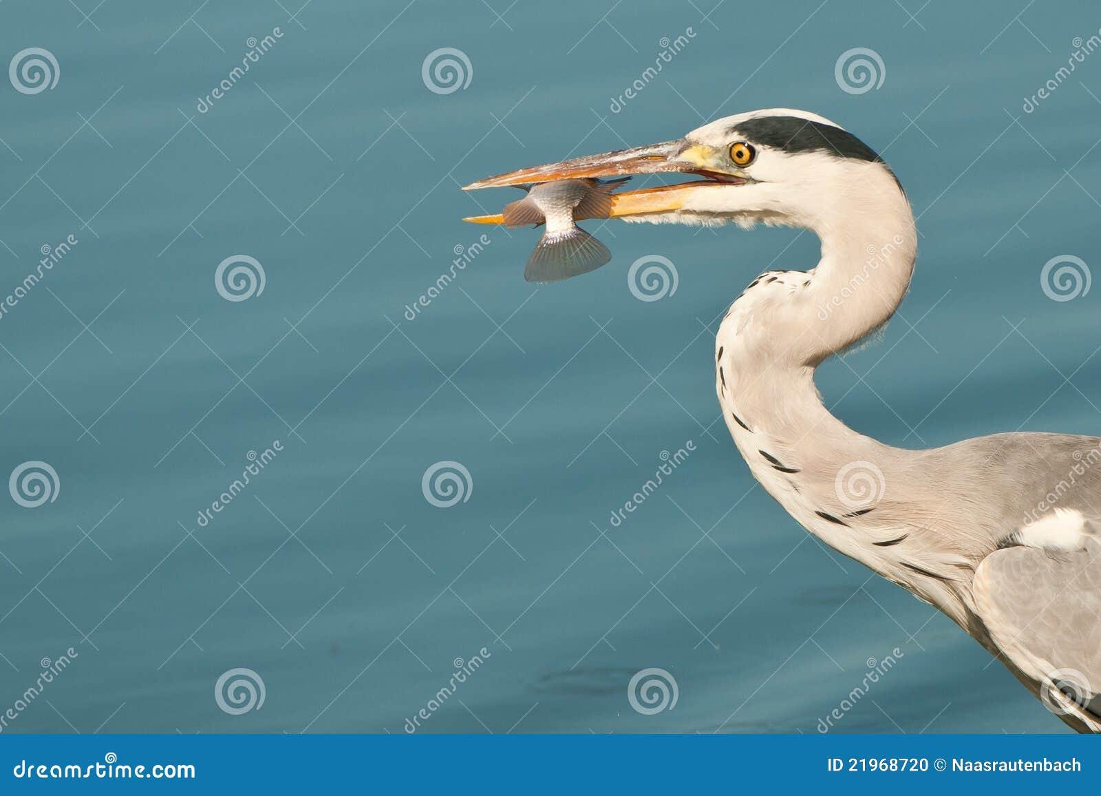 Grey heron eating a fish stock photo image 21968720 for Dreaming of eating fish
