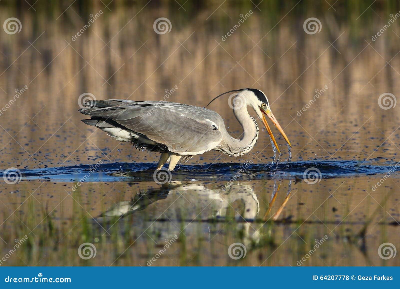 Grey Heron, el fising cinerea del Ardea en el pantano