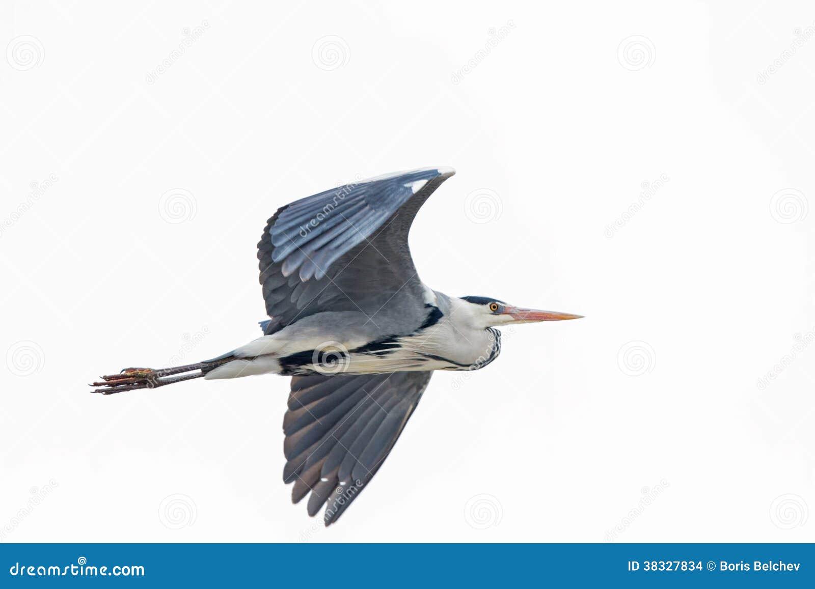 Grey Heron en vol