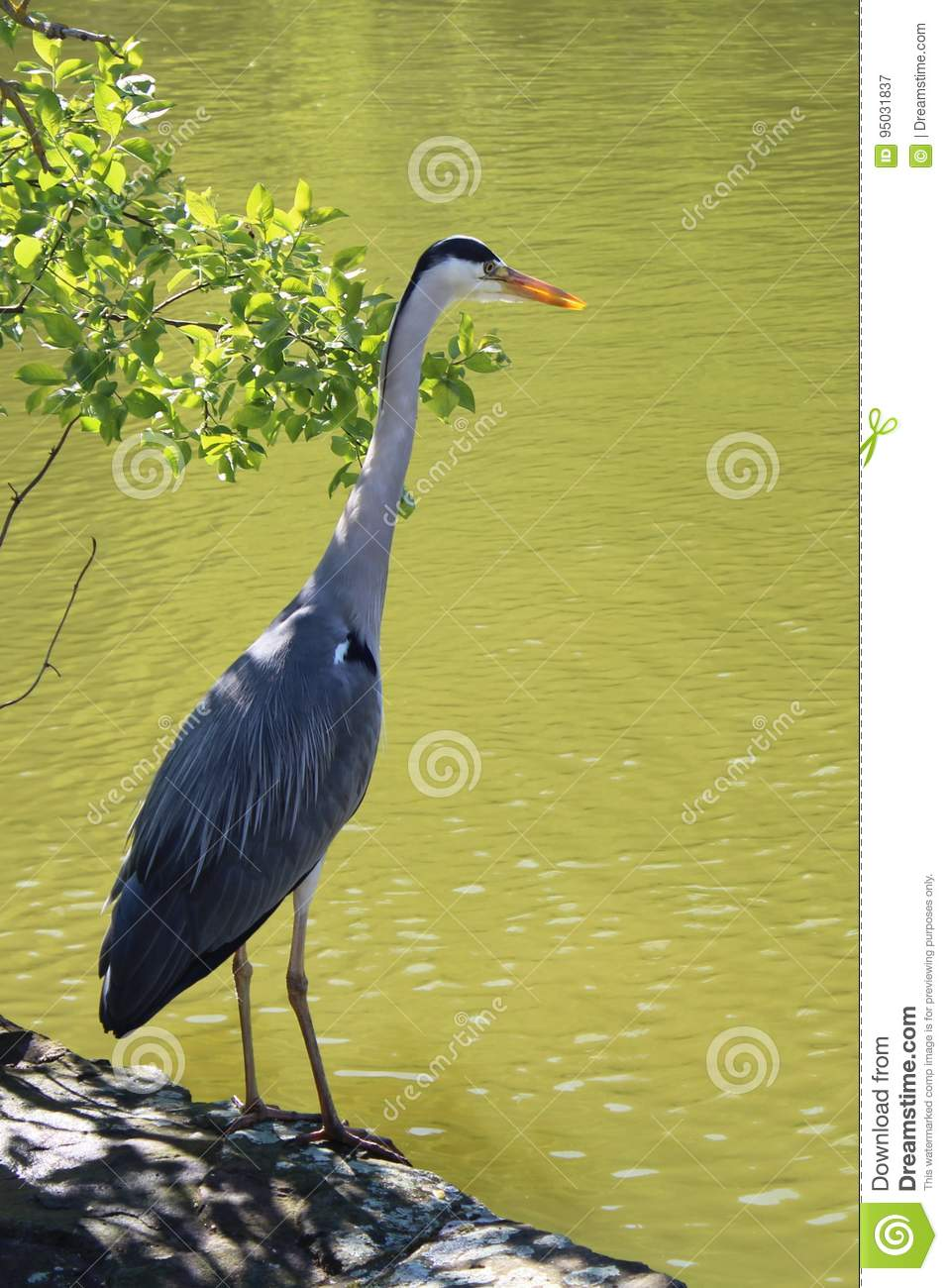 The Grey Heron is lurking for a fish