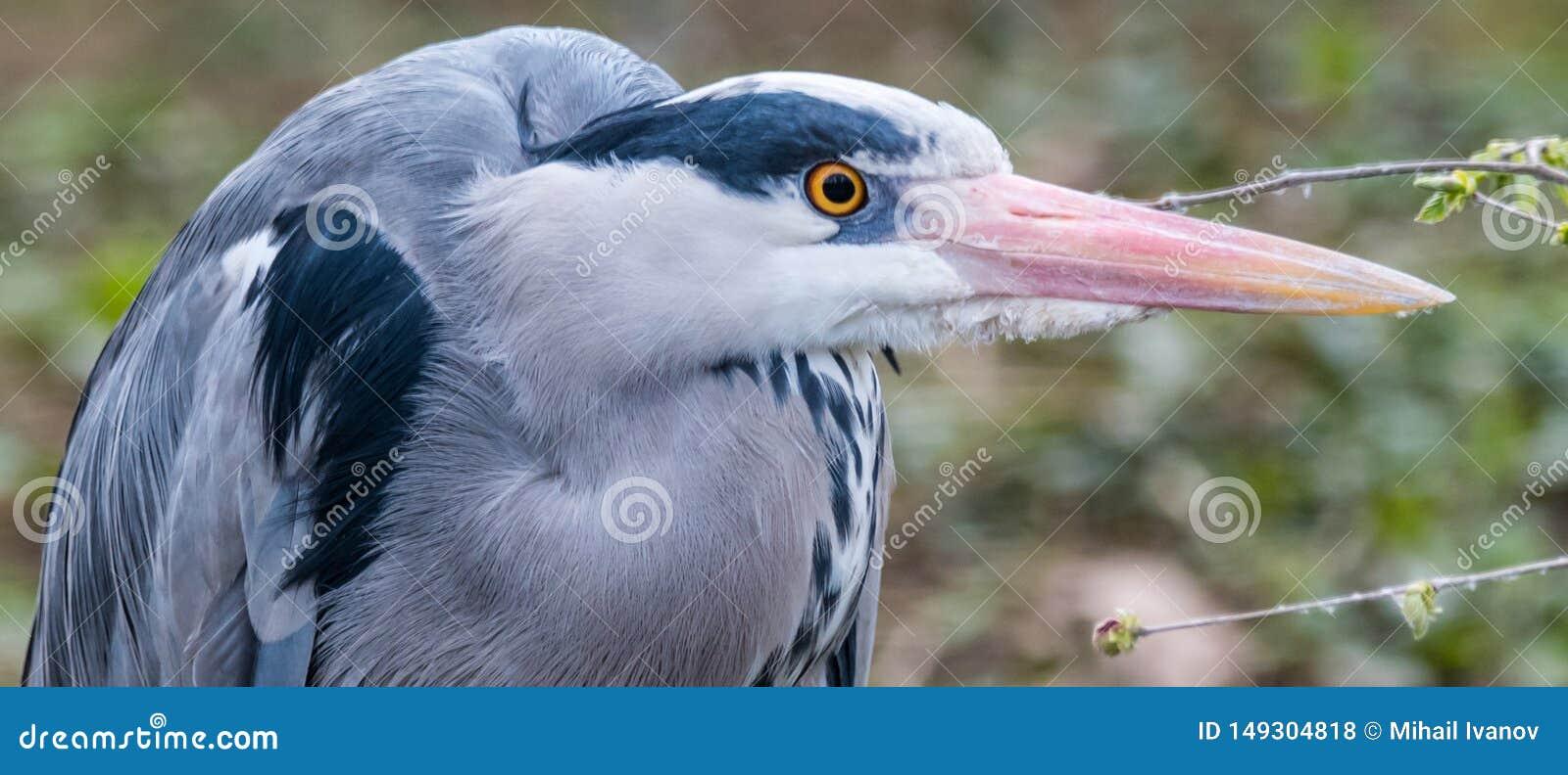 Grey heron portrait close up