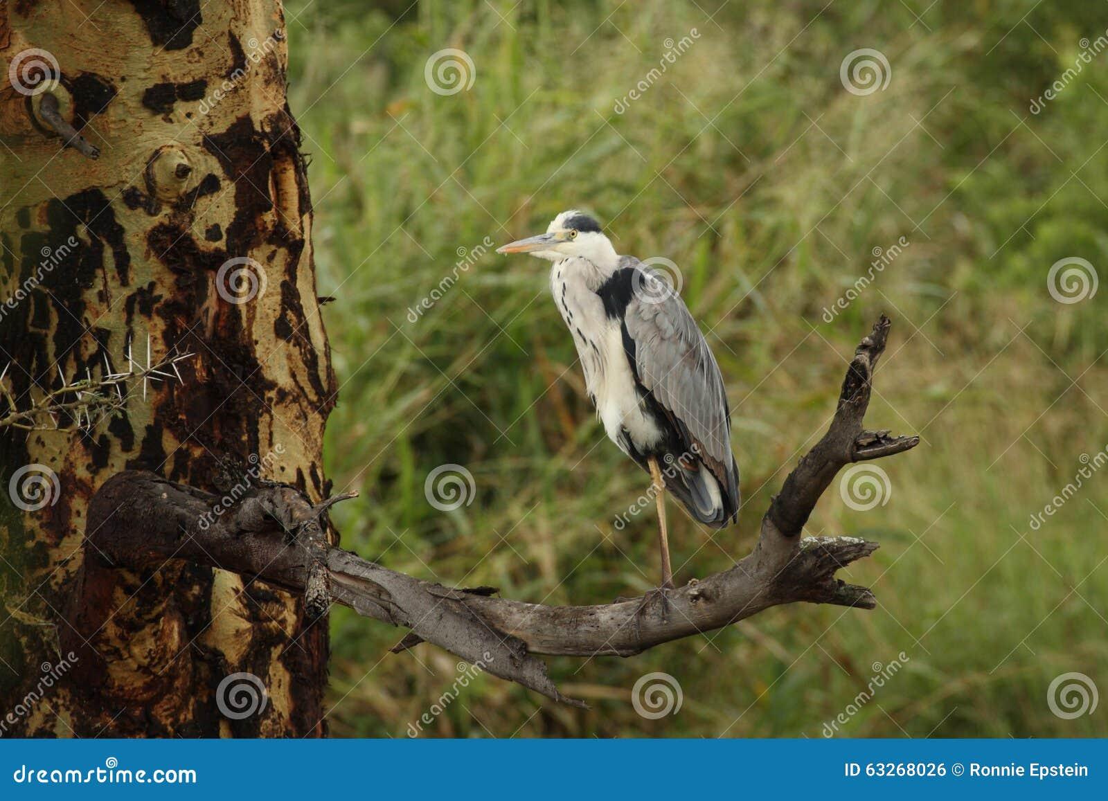 Grey Heron Steht Auf Einem Bein Auf Totem Zweig In Serengeti