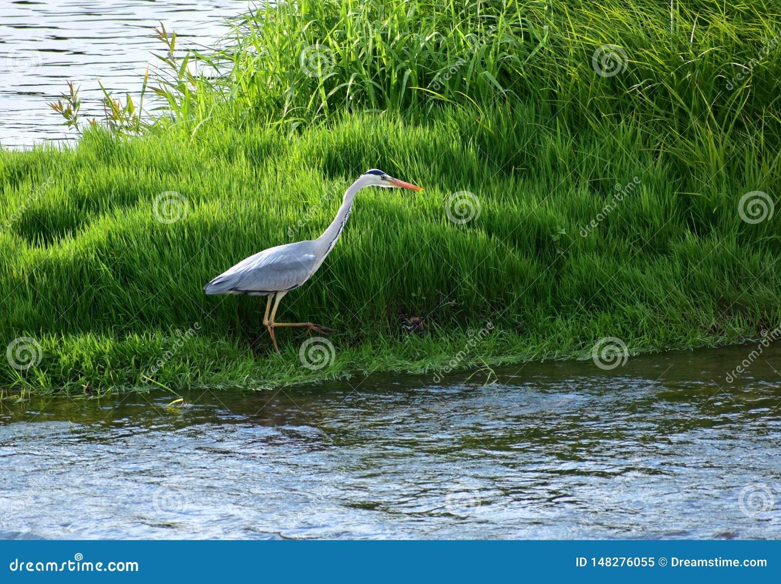 Grey Heron voló al lugar de búsqueda
